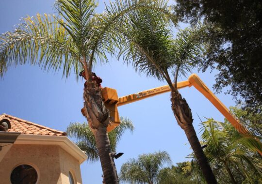 Palm Tree Trimming-West Chase FL Tree Trimming and Stump Grinding Services-We Offer Tree Trimming Services, Tree Removal, Tree Pruning, Tree Cutting, Residential and Commercial Tree Trimming Services, Storm Damage, Emergency Tree Removal, Land Clearing, Tree Companies, Tree Care Service, Stump Grinding, and we're the Best Tree Trimming Company Near You Guaranteed!