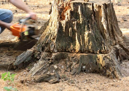 Stump Removal-West Chase FL Tree Trimming and Stump Grinding Services-We Offer Tree Trimming Services, Tree Removal, Tree Pruning, Tree Cutting, Residential and Commercial Tree Trimming Services, Storm Damage, Emergency Tree Removal, Land Clearing, Tree Companies, Tree Care Service, Stump Grinding, and we're the Best Tree Trimming Company Near You Guaranteed!